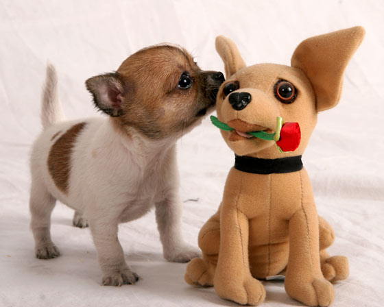 ... Chihuahua Dog Pictures - Teacup chihuahua puppies - Cute Chihuahua