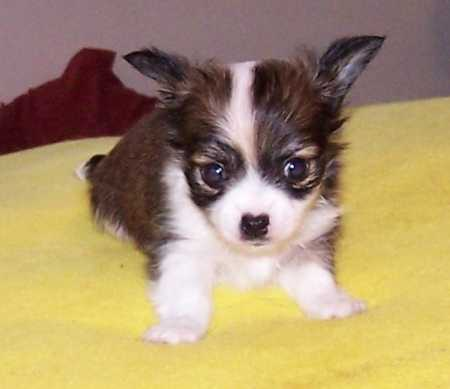 Cute Puppy Dog Pictures Chihuahua Dog Pictures Cute