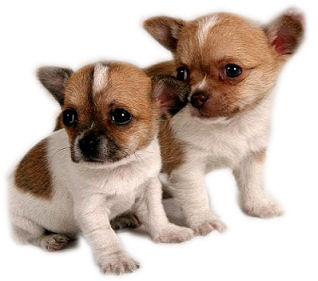 Most Popular Toy Breed Dogs